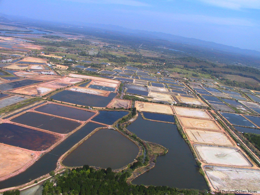 On the value of mangroves compare to converting them in shrimp farms